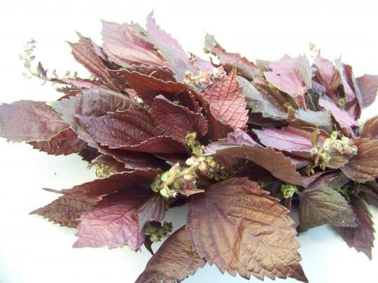 feuilles de perilla pourpre