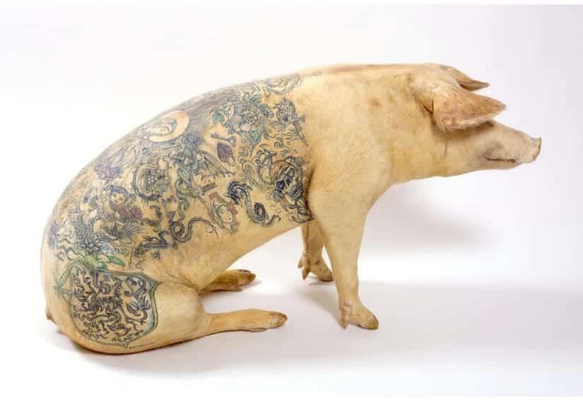 Cochon tatoué de Wim Delvoye